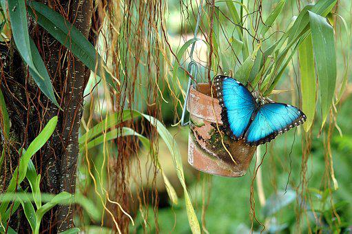 Blue Morpho, Butterfly, Wildlife, Garden, Insect