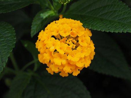 Lantana, Lantana Camara Cultivar, Lantana Camara