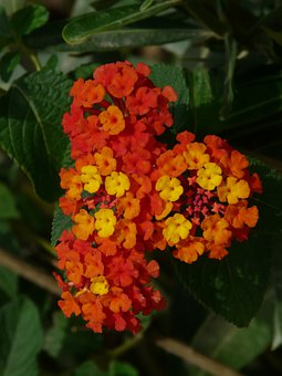 Lantana, Lantana Camara, Ornamental Plant, Red, Orange