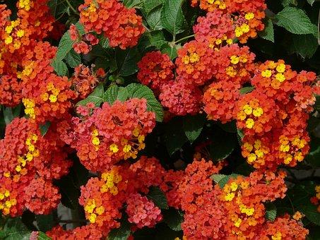 Lantana, Lantana Camara, Ornamental Plant, Red, Orange