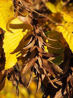 Pods, Fruits, Leaves, Brown, Hornbeam, Autumn