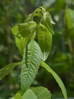 Lemon Bush, Plant, Kitchen Herb, Leaves, Green