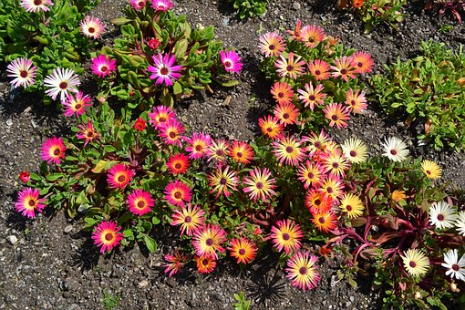 Mesembryanthemum, Flowers, Memsies, Summer, Plant