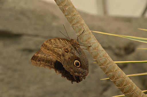 Butterfly, Morpho Peleides, Brown, Bug, Nature