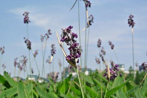 Lavender, Plant, Natural Grass, Hiromasa Lake