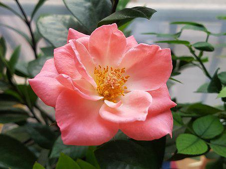 Rose, Flowers, Pink, Potted Plant, Nature, Beautiful