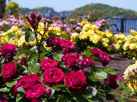 Verny Park, France, Rose, Red, Sea, Naval Base, America