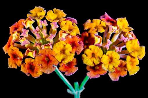Lantana, Lantana Camara, Ornamental Plant, Orange