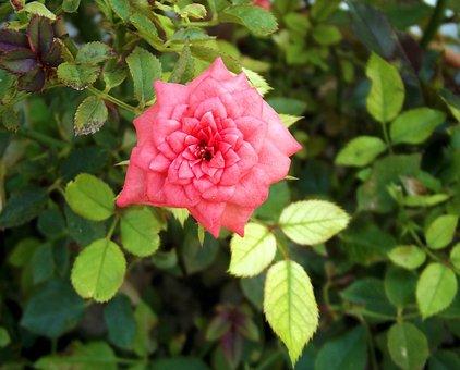 Rose, Pink, Pink Roses, Macro, Close, Little Rose