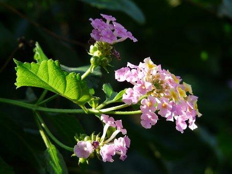 Lantana, Lantana Camara, Ornamental Plant, Purple, Pink