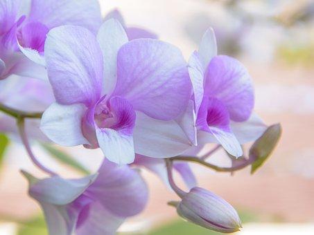 Orchid, Flower, Background, White, Closeup, Purple