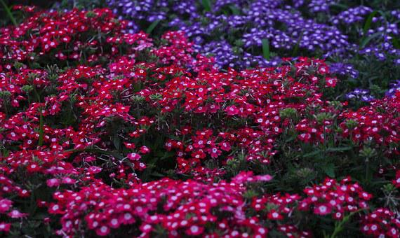 Verbena, Flowers, Verbenaceae, Red, Red Purple, Purple