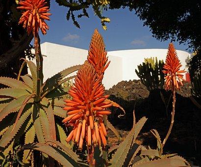 Aloe Vera, Flowers, Asphodeloideae, Real Aloe, Tropical