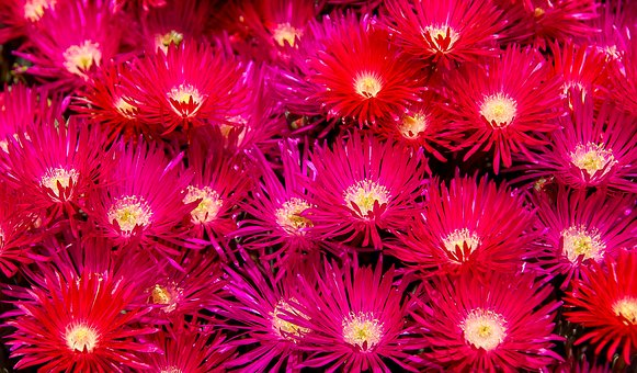 Flowers, Bright, Blooms, Pink, Red, Pigface
