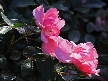 Rose, Last Flor, October, Bush Rose, Shrub Rose