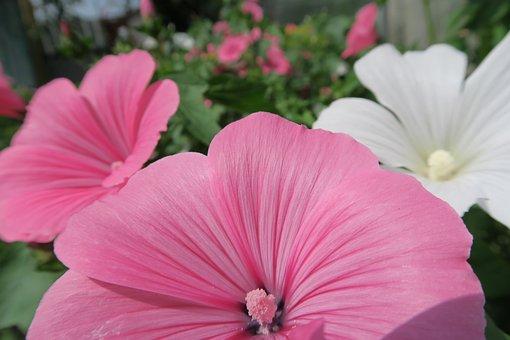 Flower, Pink, Flowers, Summer, Garden Flower