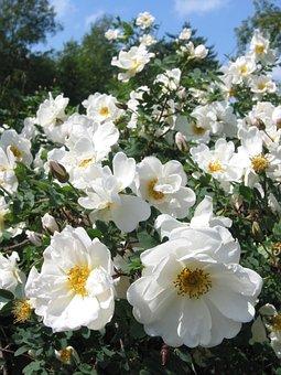 Midsummer Roses, White Roses, Summer, Midsummer