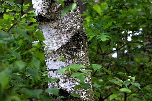 Birch, Leaves, Tree, Nature, Leaf, Bark, Forest, Tribe