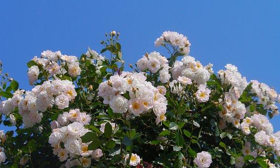 Verny Park, Rose, White, Huang, Yokosuka