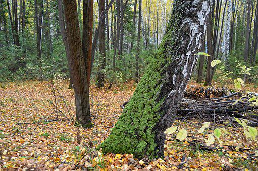 Autumn, Forest, Yellow Forest, Nature, Landscape, Birch