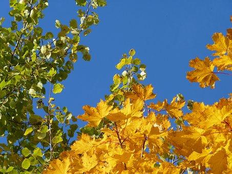 Tree, Birch, Maple, Yellow, Green, Fall Foliage, Autumn