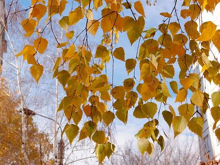 Leaves, Birch, Yellow, Nature, Tree, Forest, Trees