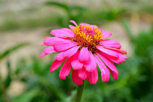 Zinnia, The Pink Flowers, Bright, Orange