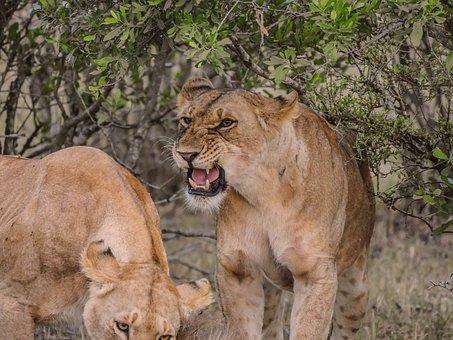 Lion, Aggressive, Threat, Prey, Gnu, Breakfast