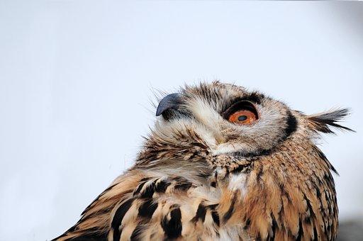 Eagle Owl, Bird, Bird Of Prey, Feather