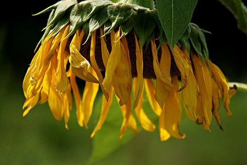 Sun Flower, Blossom, Bloom, Hanging, Close