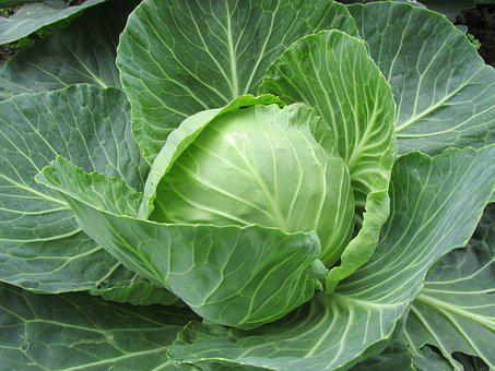 White Cabbage, Cabbage, Cabbage Leaves, Vegetables