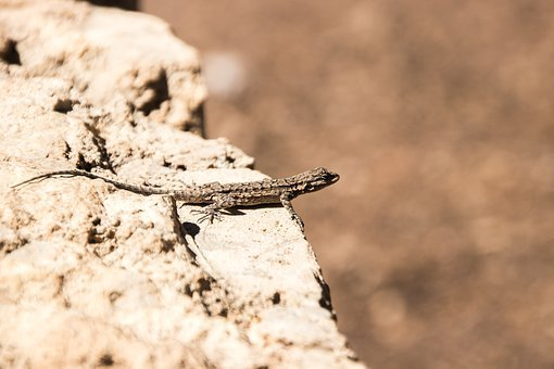 Animal, Lizard, Canyon, Mountains, Structure, Nature