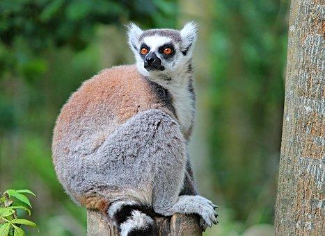 Maki, Lemure, Primate, Watch, Eyes, Curious, Cute