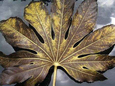 Leaf, Fatsia, Nature, Autumn