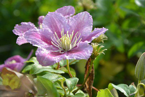 Flower Jasmine, Green Leaves, Nature Garden, Flowering