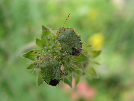Insect, Shield Bug, Bug, Nature