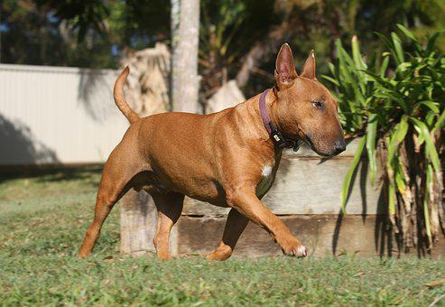 Dog, Miniature, Bull Terrier, Canine, Puppy, Grey, Red