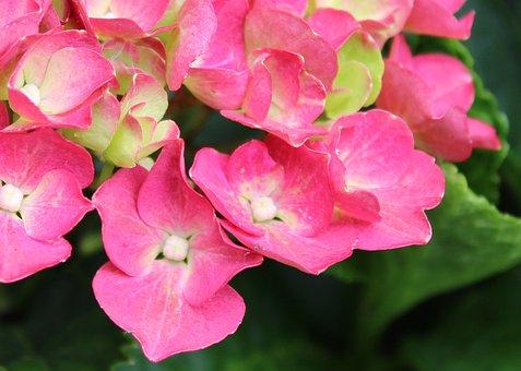 Pink Flowers, Bloom, Petals, Garden, Floral, Blooming