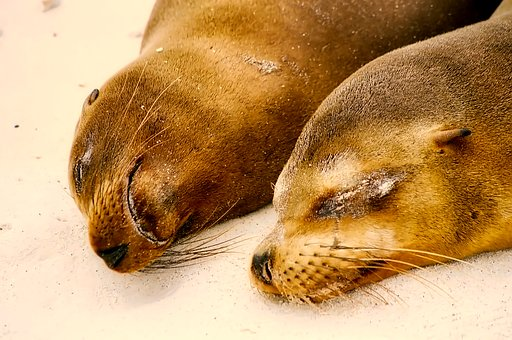 Seals, Sleeping, Resting, Cute, Beach, Seashore, Nature