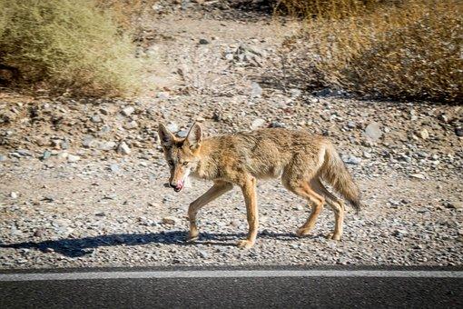 Valley, Death, Desert, Desert Fox, Fuchs, Animal, Dog