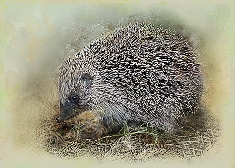 Hedgehog, Crew Cut, Animal, Needles, Barb, Rodent