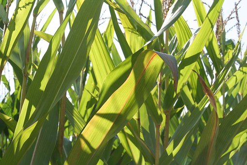 Corn, Field, Food, Crops, Autumn, Arable, Agriculture