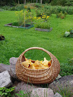 Mushroom, Basket, Garden, Autumn, Chanterelle Mushrooms