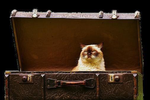 Luggage, Antique, British Shorthair, Cat, Cute, Funny