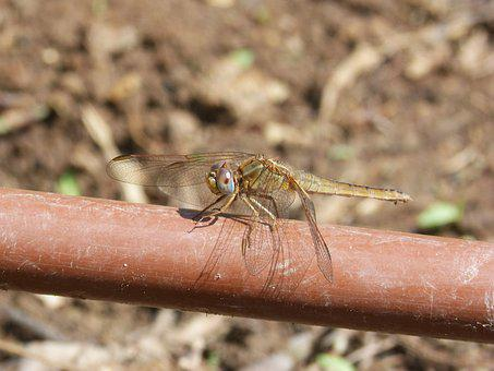 Dragonfly, Irrigation Pipe, Yellow Dragonfly
