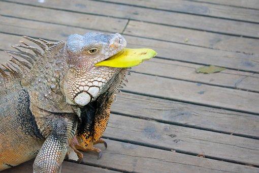 Iguana, Nature, Colombia, Reptile, Animal, Fauna