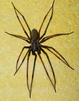 Spider, Eight Legged, Creepy, Intruder