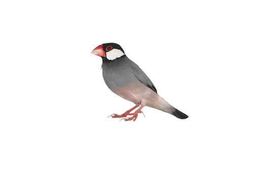 Png, Java Sparrow, Sparrow, Bird, Little Bird, Ave