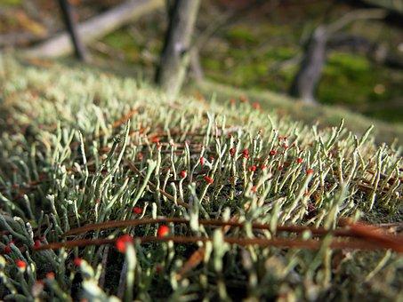Moss, Log, Forest Floor, Bemoost, Red, Tittle
