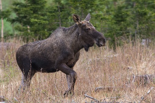Moose, Mammal, Animal, Wildlife, Brown, Species, Alces